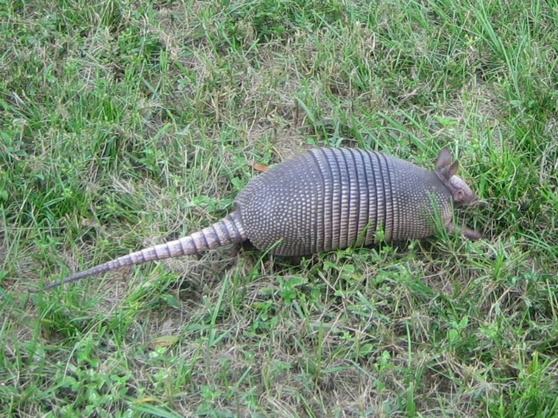 Armadillo Walking