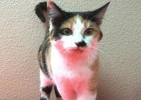 Young calico cat